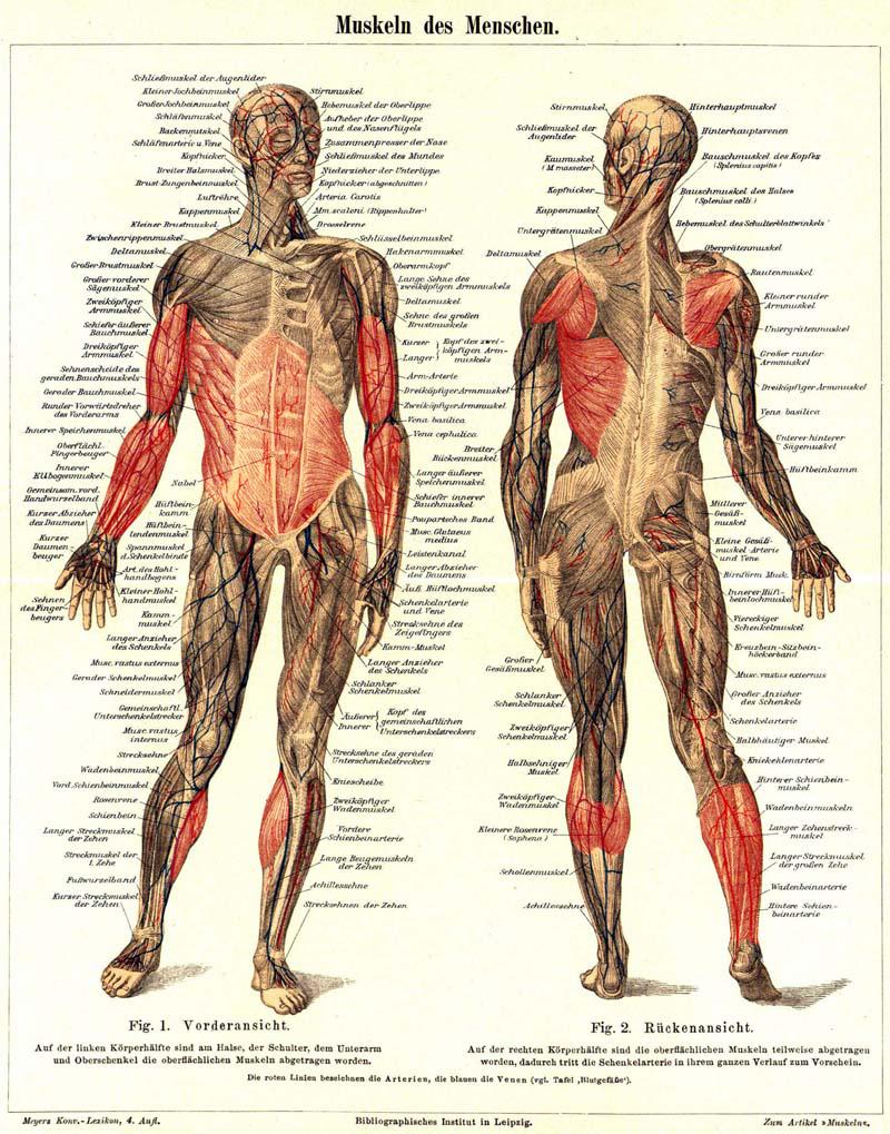 Tolle Rücken Und Schultermuskulatur Anatomie Galerie - Physiologie ...