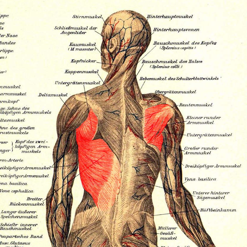 Latissimus, großer und kleiner Rundmuskel