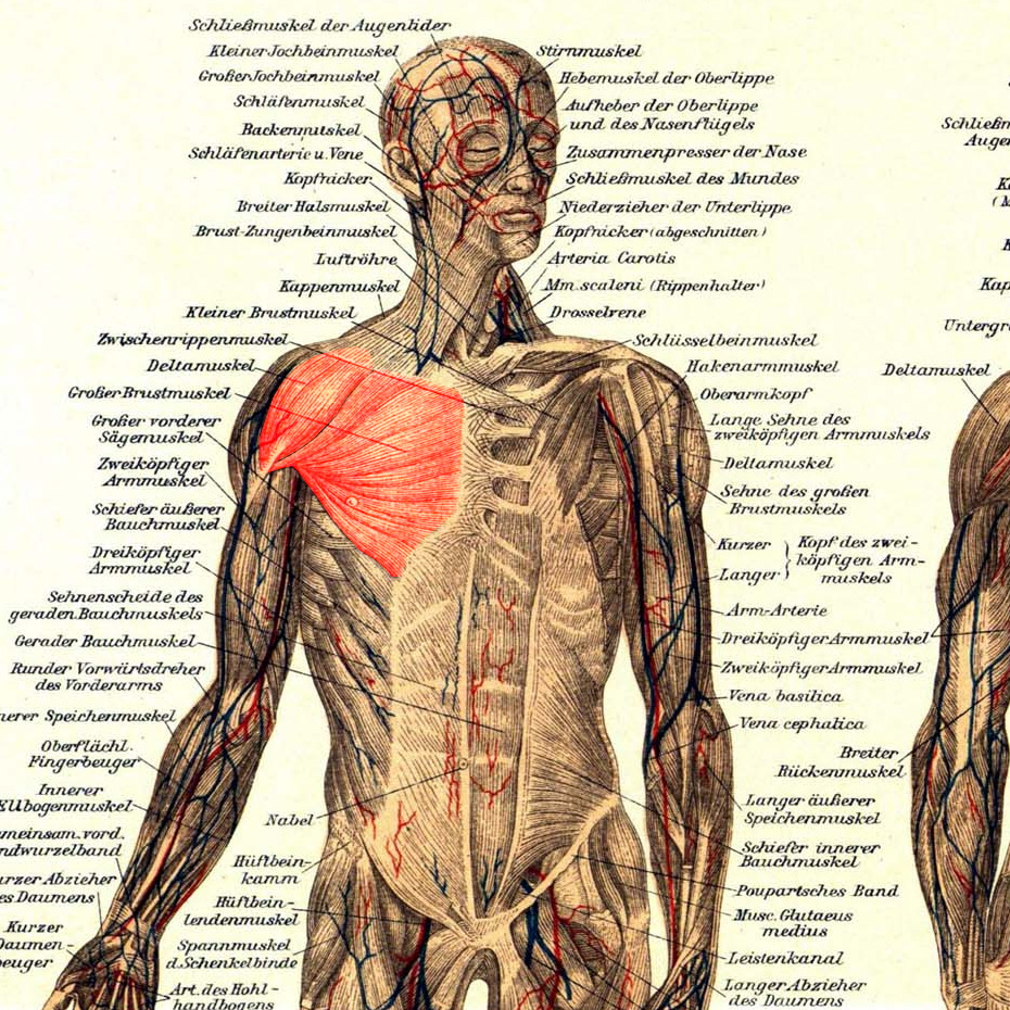 Hintere Deltas, Trapezius, Rautenmuskel, Untergrätenmuskel, Kleiner Rundmuskel