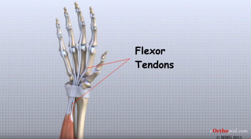 Video - Hand Anatomie (© MMG 2011 - Randale Sechrest)